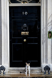 © Licensed to London News Pictures. 12/05/2015. LONDON, UK. Larry the cat outside Number 10 whilst the first Conservative cabinet meeting after the 2015 general election takes place in Downing Street on Tuesday, 12 May 2015. Photo credit: Tolga Akmen/LNP