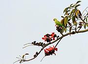 Female rose-ringed parakeet (Psittacula krameri) sitting is a flowering cotton tree (Bombax ceiba) in Kaziranga NP, Assam India.