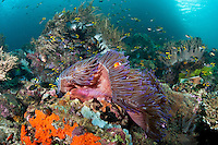 Clown Anemonefish and Reef Fishes<br /> <br /> shot in Indonesia