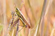Large marsh grasshopper (Stethophyma grossum). Dorset, UK.