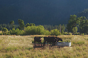 Wagyu Cattle Drinking Water, Genesee Valley Ranch, California Mountains, Sierra Nevada Mountains, Spring