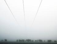 Żubry w bardzo gęstej mgle