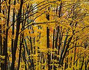Autumn colors of Sugar Maples, Acer saccharum, near Walker Mill, Adirondack Mountains, Adirondack Park, New York.