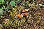 A monarch butterfly lays on the forest floor after reaching the end of life at an over-winter site in the Cerro Pelon Monarch Butterfly Preserve near Macheros, Michoacan, Mexico. The monarch butterfly migration is a phenomenon across North America, where the butterflies migrates each autumn to overwintering sites in Central Mexico.