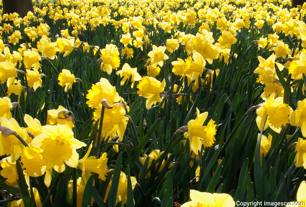 Daffodils<br /> *ADD TO CART FOR LICENSING OPTIONS*