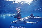 videographer films blue shark, Prionace glauca, Azores Islands, Portugal ( North Atlantic Ocean )