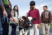 Sixth grader Aarnav Jagota, center, pets one-month-old calf Rocky during the Mobile Dairy Classroom visit at Zanker Elementary School in Milpitas, California, on March 14, 2016. (Stan Olszewski/SOSKIphoto)
