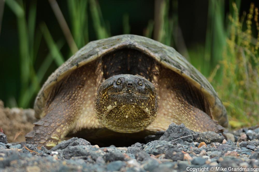 The common snapping turtle (Chelydra serpentina)<br /> Killarney Provincial Park<br /> Ontario<br /> Canada