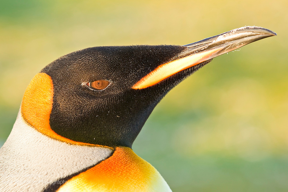 The striking colours, akin to royalty, is why this species was named the King Penguin