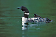 Common Loon - Gavia immer - Adult breeding