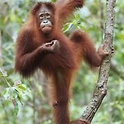 Orangutan (Pongo pygmaeus), Tanjung Puting National Park, Borneo
