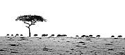Wildebeests on their great migration in black and white. Maasai Mara, Kenya.