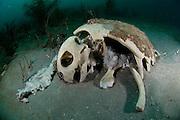 Skeleton of Loggerhead Sea Turtle, Caretta caretta, resting on the sea bottom offshore Palm Beach, Florida, United States