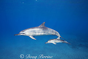 Hawaiian spinner dolphins or Gray's spinner dolphins, Stenella longirostris longirostris, mother with calf that has a round wound from the bite of a cookie cutter shark, off Ho'okena Beach, South Kona, Hawaii ( the Big Island ), USA ( Central Pacific Ocean )