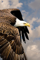 A Bald Eagle (Halietus leucocephalus) flys by at close range with a determined look about it.