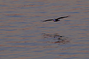 An adult bald eagle (Haliaeetus leucocephalus) flies over Lake Washington at sunrise after catching a fish. The eagle flew to its nest to feed its two chicks.