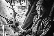 A reindeer entering the teepee of a Tsaatan women for food, northern province of Khovsgol, black and white, Khovsgol, Mongolia