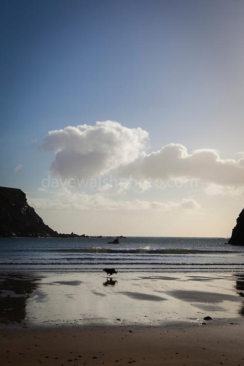 Dog running on the beach at Silver Strand, Or Trabane Beach, near Malin Beg, Donegal, on Ireland's Wild Atlantic Way.