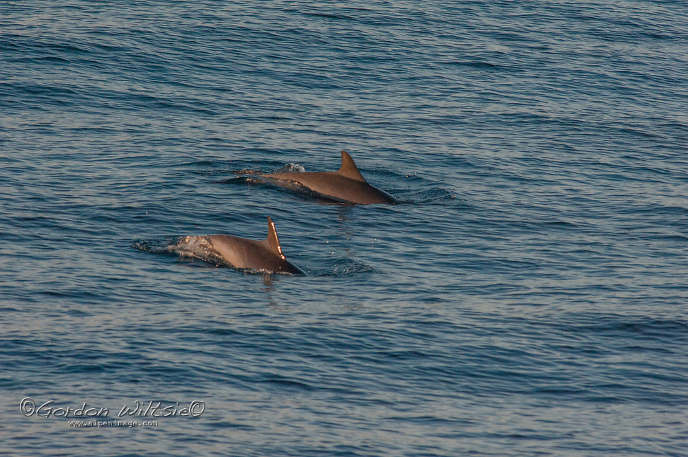 Common dolphins surface in the Pacific Ocean near Long Beach, California.