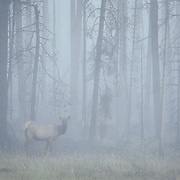 Cow elk in a foggy burn area in Yellowstone National Park during the fall.