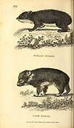 Syrian Hyrax and Cape Hyrax from General zoology, or, Systematic natural history Vol 2 Mammalia, by Shaw, George, 1751-1813; Stephens, James Francis, 1792-1853; Heath, Charles, 1785-1848, engraver; Griffith, Mrs., engraver; Chappelow. Copperplate Printed in London in 1801 by G. Kearsley