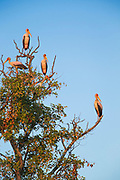 Yellow billed stork in tree in South Luangwa National Park, Zambia
