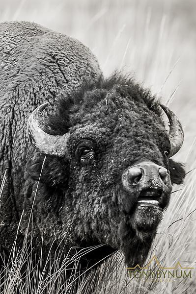 rutting bull american bison buffalo