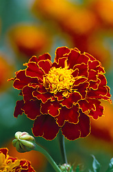 Marigold French Red - Tagetes