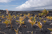 New seedling palm trees planted on the lava flow on the Big Island of Hawaii.