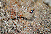 Ringneck pheasant flushing from thicket