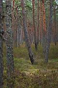 Old boggy pine forest rich with naturally regrown marsh Labrador tea (Ledum palustre) after forest fire, Kemeri National Park (Ķemeru Nacionālais parks), Latvia Ⓒ Davis Ulands   davisulands.com