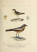 hand coloured sketch Top: Muscigralla brevicauca Bottom: chocolate-vented tyrant (Neoxolmis rufiventris [Here as Pepoaza variegata]) From the book 'Voyage dans l'Amérique Méridionale' [Journey to South America: (Brazil, the eastern republic of Uruguay, the Argentine Republic, Patagonia, the republic of Chile, the republic of Bolivia, the republic of Peru), executed during the years 1826 - 1833] 4th volume Part 3 By: Orbigny, Alcide Dessalines d', d'Orbigny, 1802-1857; Montagne, Jean François Camille, 1784-1866; Martius, Karl Friedrich Philipp von, 1794-1868 Published Paris :Chez Pitois-Levrault et c.e ... ;1835-1847