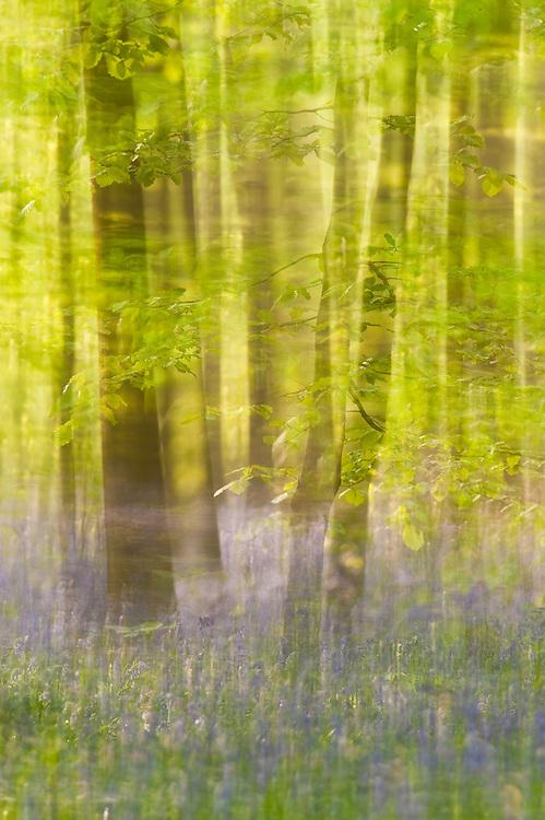 Hallerbos forest, Bluebells carpet Hyacinthoides non scripta, Belgium