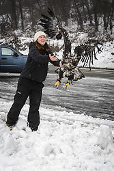 """Rachel Wheat, a graduate student at the University of California Santa Cruz, releases bald eagle (Haliaeetus leucocephalus) """"4P"""" back into the wild. Wheat is conducting a bald eagle migration study of eagles that visit the Chilkat River for her doctoral dissertation. She hopes to learn how closely eagles track salmon availability across time and space. The bald eagles are being tracked using solar-powered GPS satellite transmitters (also known as a PTT - platform transmitter terminal) that attach to the backs of the eagles using a lightweight harness. The latest location of this eagle can be found here: http://www.ecologyalaska.com/eagle-tracker/4p/ . During late fall, bald eagles congregate along the Chilkat River to feed on salmon. This gathering of bald eagles in the Alaska Chilkat Bald Eagle Preserve is believed to be one of the largest gatherings of bald eagles in the world."""