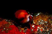 UNDERWATER MARINE LIFE EAST PACIFIC: Northeast SNAILS: California Cowrie Cypraea californica