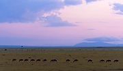 Wildebeests migrating early one morning in Maasai Mara, Kenya.