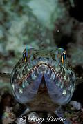 lizardfish, Synodus sp., <br /> Ribbon Reef #3,<br /> Great Barrier Reef, Australia,<br /> ( Western Pacific Ocean )