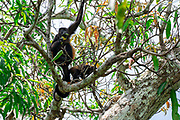 Mantled howler monkey. Wild mantled howler monkey (Alouatta palliata palliata) swinging from a branch in the Costa Rican rainforest.