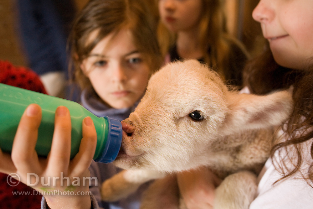 10 year old Hannah feeds a three day old lamb in a barn on a Sauvie Island farm. Oregon. model/property released.