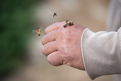 18 April 2019, Yatta, Hebron, Occupied Palestinian Territories: Beekeeper Abed from Yatta in the Hebron Governorate of the West Bank tends to his bees. Today is a good day, as he has two new queens ready to populate new hives.