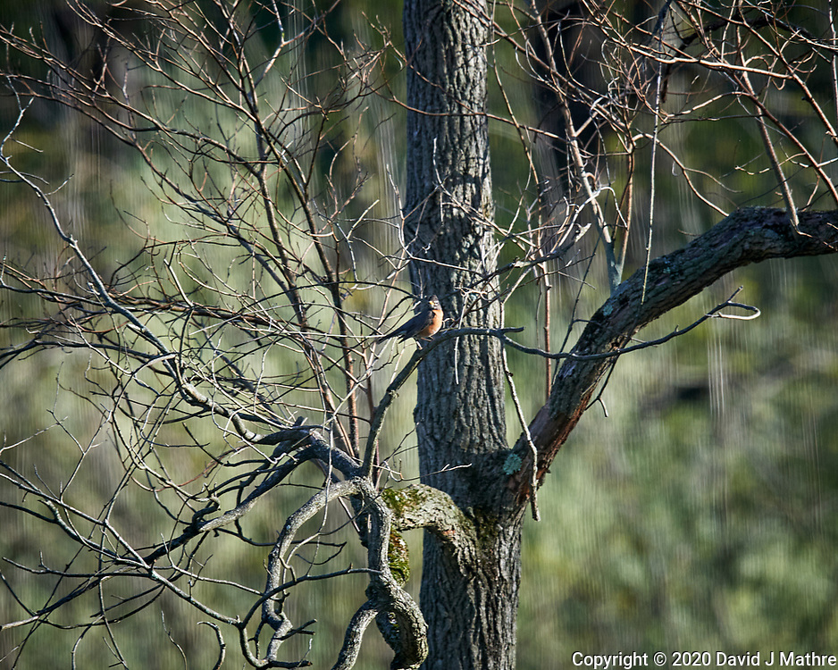 American Robin. Image taken with a Nikon D5 camera and 600 mm f/4 VR lens (ISO 500, 600 mm, f/5.6, 1/1250 sec)