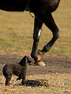 Town of Wallkill, New York - A small dog stands still as a horse heads down to the track at the Mark Ford Training Center on Dec.27, 2014.