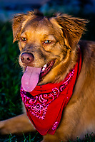 An Australian Shepherd/Golden Retriver mix dog, Littleton, Colorado USA.