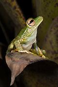 Palmar Treefrog (Hypsiboas pellucens) CAPTIVE<br /> Chocó Region of NW ECUADOR. South America<br /> HABITAT: Subtropical and tropical Forests.