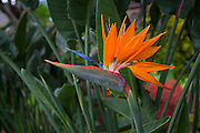Bird of Paradise, Flower, Hawaii