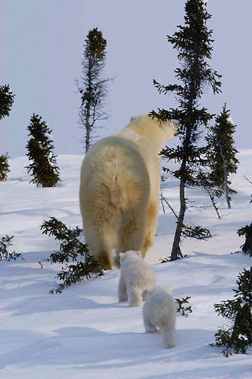 Mother and cub polar bear traveling towards Hudson Bay passes through a spruce forest in Wapusk National Park. It's early March and the temperatures are -46F, this is the time mother and cubs emerge from the den. Manitoba, Canada