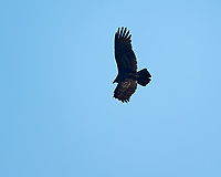 Turkey Vulture in flight. Image taken with a Nikon D3s camera and 600 mm f/4 VR lens.