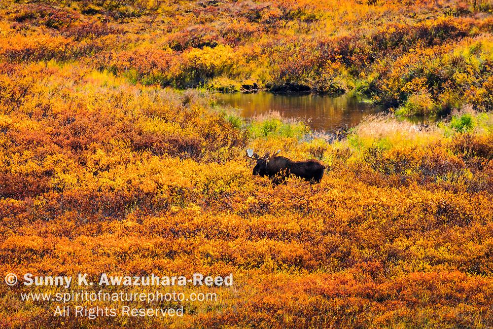 Bull Moose strolls in bright fall color tundra. Denali National Park & Preserve, Interior Alaska, Autumn.