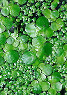 GREATER DUCKWEED Spirodella polyrhiza (Lemnaceae) Aquatic. Surface-floating, freshwater perennial that grows in still or slow-flowing waters of canals, ditches and ponds. FLOWERS are minute and seldom seen. FRUITS are seldom seen. LEAVES are up to 10mm across, flat and rounded or ovate with several dangling roots. STATUS-Locally common, mainly in the S.