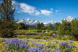 Field of Lupine, Grand Teton National Park